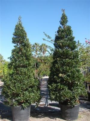 Trees Burnett S Wholesale Nursery