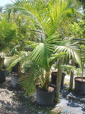 Palm Trees Burnett S Wholesale Nursery